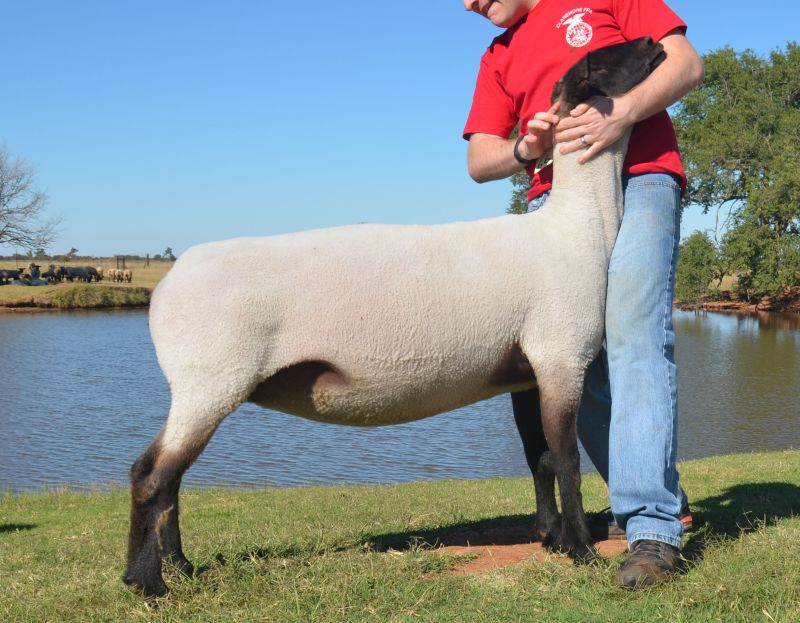 Purchase of New Donor Ewe for Flock