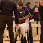 Brady's Light Weight Ewe Lamb