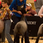 Jordan's 127 Pound Ewe Lamb