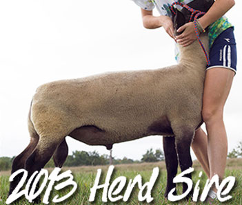 2013 Lead Wether Sire Stud Ram