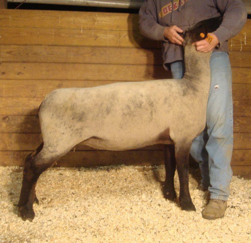 A few New Stud Ewes