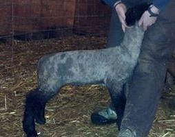 Strange x Creole Buck Lamb