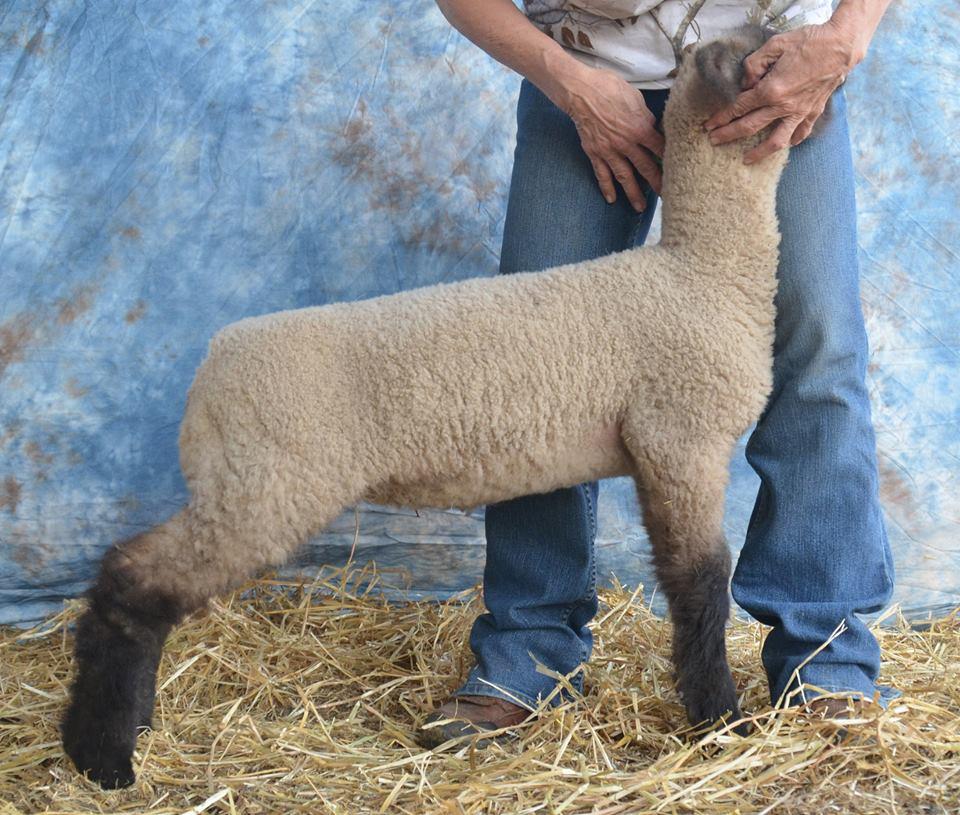 Powerball Ewe Lamb
