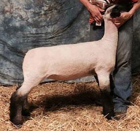 Powerball and Eroc Ewe Lambs