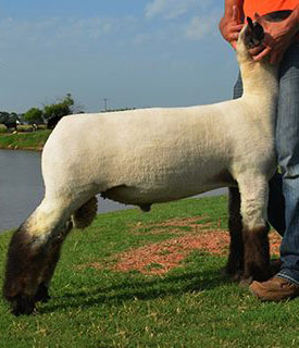 Mid-West Elite Sheep Sale Results