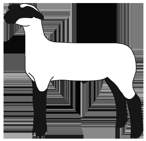 Free Show Lamb Clip Art   Sheep Graphics   Clublamb Images