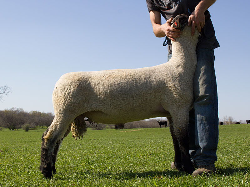 Yearling Hampshire Ram for Sale