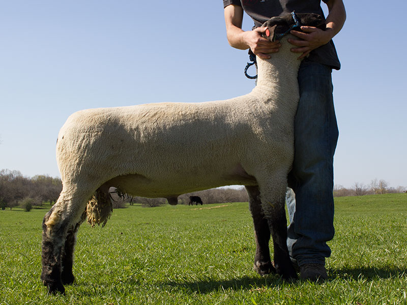Yearling Hampshire Ram Show Lamb for Sale