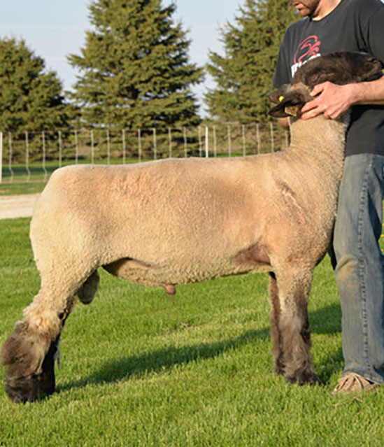 Crossbred Stud Ram Sired by Johnson Club Lamb's Monkey Business at Beatty Club Lambs
